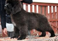 Newfoundland Dog Puppies for sale in New Orleans, LA, USA. price: NA