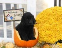 Newfoundland Dog Puppies for sale in Bakersfield, CA, USA. price: NA