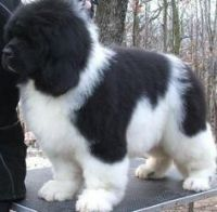 Newfoundland Dog Puppies for sale in Beaver Creek, CO 81620, USA. price: NA