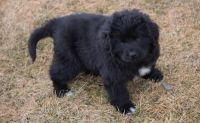 Newfoundland Dog Puppies for sale in Chattanooga, TN, USA. price: NA