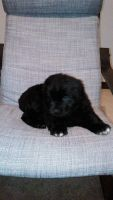 Newfoundland Dog Puppies for sale in Akron, OH, USA. price: NA