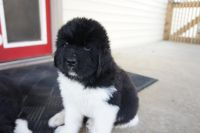 Newfoundland Dog Puppies for sale in Allentown, PA, USA. price: NA