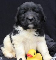 Newfoundland Dog Puppies for sale in Louisville, KY, USA. price: NA