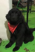 Newfoundland Dog Puppies for sale in Pittsburgh, PA, USA. price: NA