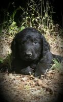 Newfoundland Dog Puppies for sale in Sacramento, CA, USA. price: NA