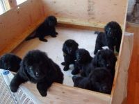 Newfoundland Dog Puppies for sale in Montgomery, AL, USA. price: NA
