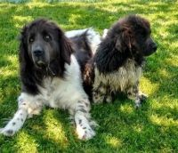 Newfoundland Dog Puppies for sale in Las Vegas, NV, USA. price: NA
