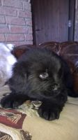 Newfoundland Dog Puppies for sale in Alexandria, LA, USA. price: NA