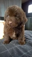 Newfoundland Dog Puppies for sale in Carlsbad, CA, USA. price: NA