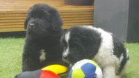 Newfoundland Dog Puppies for sale in El Paso, TX, USA. price: NA