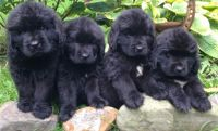 Newfoundland Dog Puppies for sale in Fort Wayne, IN, USA. price: NA