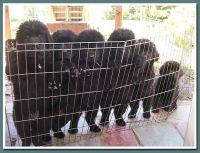 Newfoundland Dog Puppies for sale in Birmingham, AL, USA. price: NA