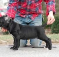 Newfoundland Dog Puppies for sale in Rapid City, SD, USA. price: NA