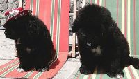 Newfoundland Dog Puppies for sale in Anaheim, CA, USA. price: NA
