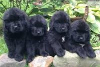 Newfoundland Dog Puppies for sale in St. Petersburg, FL, USA. price: NA