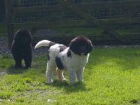 Newfoundland Dog Puppies for sale in San Diego, CA, USA. price: NA