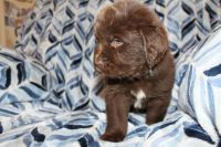 Newfoundland Dog Puppies for sale in Cedar City, UT, USA. price: NA