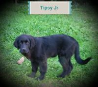 Newfoundland Dog Puppies for sale in Canton, OH, USA. price: NA