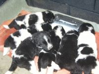 Newfoundland Dog Puppies for sale in Massachusetts Ave, Boston, MA, USA. price: NA