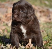 Newfoundland Dog Puppies for sale in Campbellsburg, KY 40011, USA. price: NA