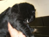 Newfoundland Dog Puppies for sale in New York, IA 50238, USA. price: NA