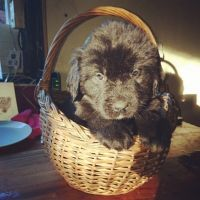 Newfoundland Dog Puppies for sale in Chicago, IL, USA. price: NA
