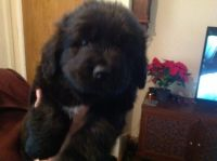 Newfoundland Dog Puppies for sale in Miami, FL, USA. price: NA
