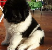Newfoundland Dog Puppies for sale in Austin, TX, USA. price: NA