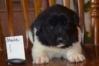 Newfoundland Dog Puppies for sale in Tetonia, ID, USA. price: NA