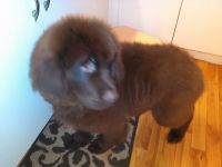 Newfoundland Dog Puppies for sale in Detroit, MI, USA. price: NA