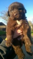 Newfoundland Dog Puppies for sale in NJ-38, Cherry Hill, NJ 08002, USA. price: NA