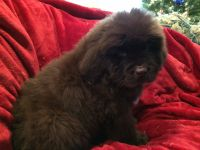 Newfoundland Dog Puppies for sale in Forest, OH 45843, USA. price: NA