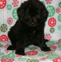 Newfoundland Dog Puppies for sale in Mountain View, CA, USA. price: NA