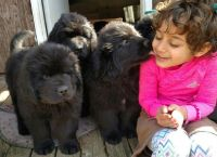 Newfoundland Dog Puppies for sale in Wooster, OH 44691, USA. price: NA