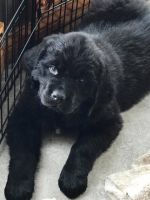Newfoundland Dog Puppies for sale in Clio, MI 48420, USA. price: NA