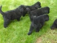 Newfoundland Dog Puppies for sale in Dallas, TX 75270, USA. price: NA