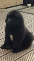 Newfoundland Dog Puppies for sale in 340 S 600 W, Salt Lake City, UT 84101, USA. price: NA