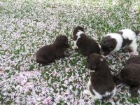 Newfoundland Dog Puppies for sale in Bloomfield Ave, Bloomfield, CT 06002, USA. price: NA