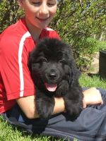 Newfoundland Dog Puppies for sale in Basking Ridge, NJ 07920, USA. price: NA