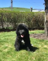 Newfoundland Dog Puppies for sale in Reading, PA 19605, USA. price: NA