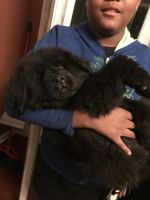 Newfoundland Dog Puppies for sale in Merrillville, IN, USA. price: NA