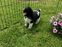 Newfoundland Dog Puppies for sale in Tecate, CA 91987, USA. price: NA