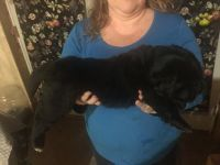 Newfoundland Dog Puppies for sale in Texas Ave, Houston, TX, USA. price: NA