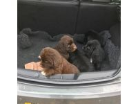 Newfoundland Dog Puppies for sale in Westerville Woods Dr, Columbus, OH 43231, USA. price: NA