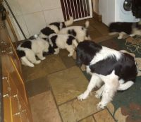 Newfoundland Dog Puppies for sale in New York, NY, USA. price: NA