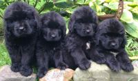 Newfoundland Dog Puppies for sale in Califa St, Los Angeles, CA 91601, USA. price: NA