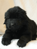 Newfoundland Dog Puppies for sale in Stevens, PA, USA. price: NA