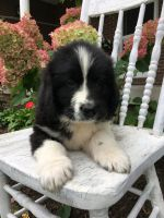Newfoundland Dog Puppies for sale in Dundee, OH 44624, USA. price: NA