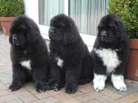 Newfoundland Dog Puppies for sale in Indianapolis Blvd, Hammond, IN, USA. price: NA