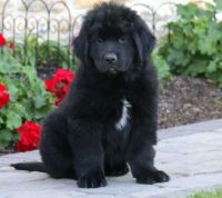 Newfoundland Dog Puppies for sale in San Francisco, CA, USA. price: NA